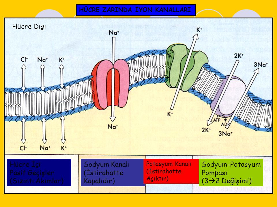 Hücre Dışı Hücre İçi Pasif Geçişler (Sızıntı Akımlar) Sodyum Kanalı (İstirahatte Kapalıdır) Potasyum Kanalı (İstirahatte Açıktır) Sodyum-Potasyum Pomp