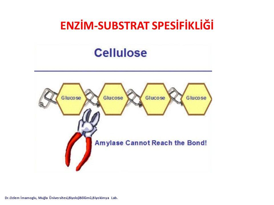 ENZİM-SUBSTRAT SPESİFİKLİĞİ Dr.Ozlem İmamoglu, Muğla Üniversitesi,BiyolojiBölümü,Biyokimya Lab.