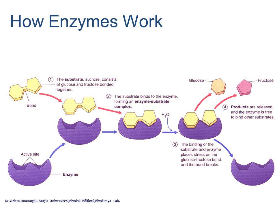 Enzimler kimyasal reaksiyonları gerçekleştirdiklerinde bazı faktörlerin etkisi altında kalırlar.