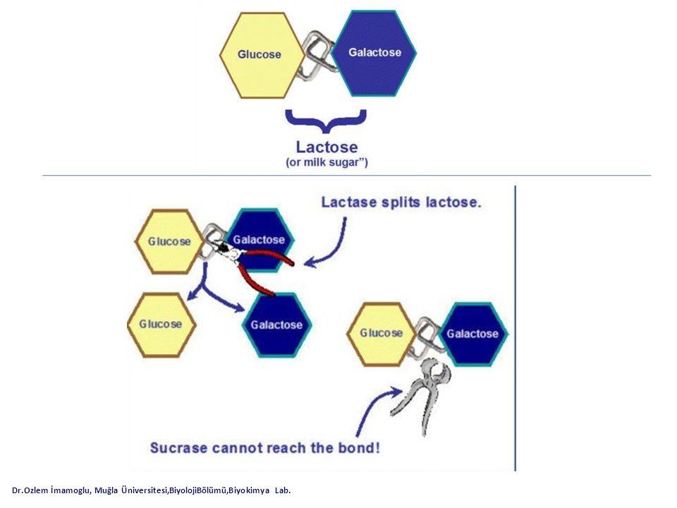 *Enzimler hücrede bir TAKIM halinde çalışır; birinin son ürünü kendisinden sonraki enzimin substratını yapar, *örneğin, amilaz enzimi nişastayı iki zincirli maltoza, maltaz enzimi ise maltozu tek zincirli glikoza çevirir.