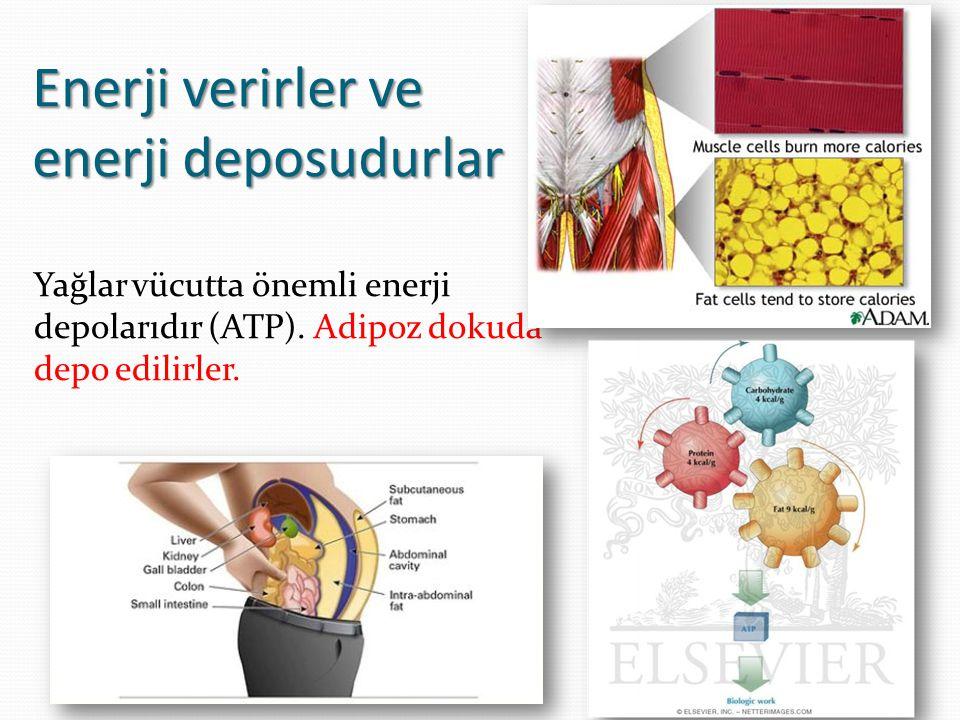 Enerji verirler ve enerji deposudurlar Yağlar vücutta önemli enerji depolarıdır (ATP).