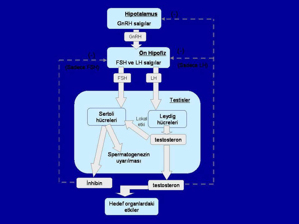 FSH ve androjenler, testisin gametojenik işevinin sürekliliğini sağlarlar.
