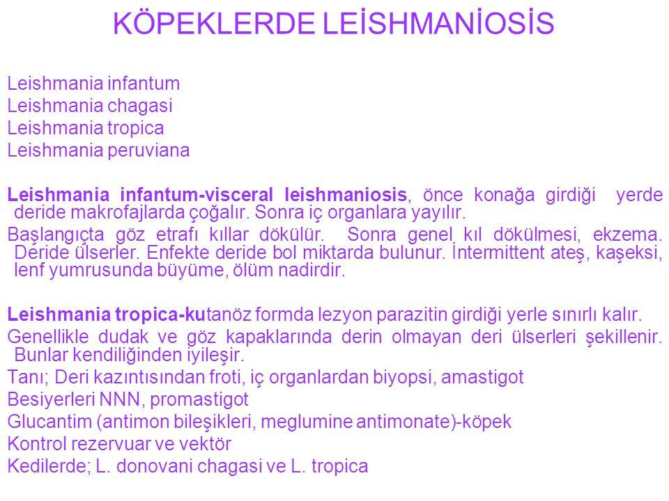 KÖPEKLERDE LEİSHMANİOSİS Leishmania infantum Leishmania chagasi Leishmania tropica Leishmania peruviana Leishmania infantum-visceral leishmaniosis, ön