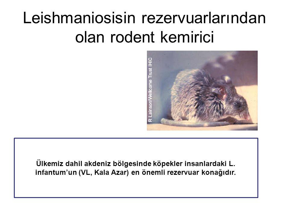 Leishmaniosisin rezervuarlarından olan rodent kemirici Ülkemiz dahil akdeniz bölgesinde köpekler insanlardaki L. infantum'un (VL, Kala Azar) en önemli