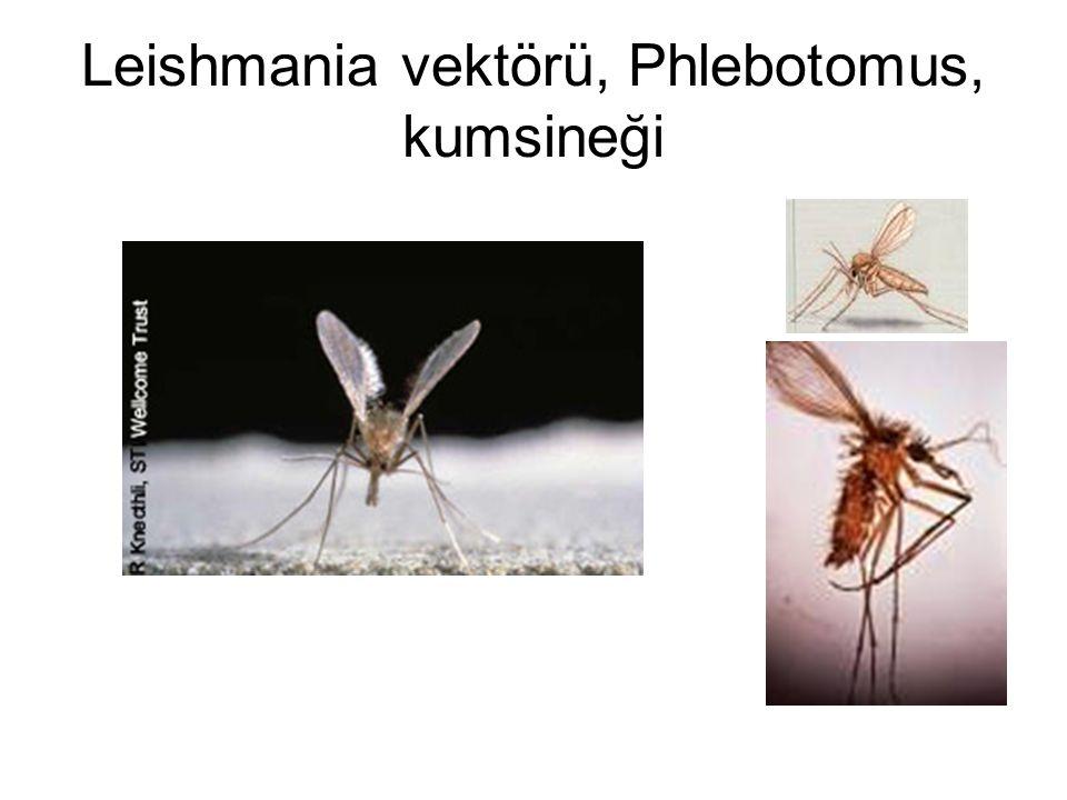 Leishmania vektörü, Phlebotomus, kumsineği