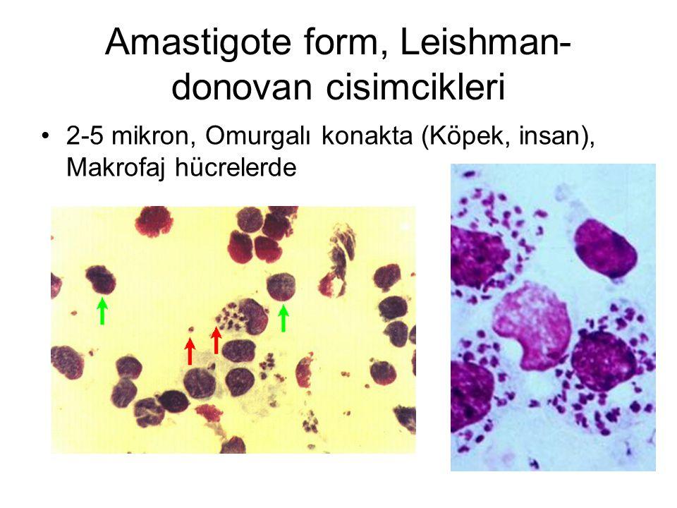 Amastigote form, Leishman- donovan cisimcikleri 2-5 mikron, Omurgalı konakta (Köpek, insan), Makrofaj hücrelerde