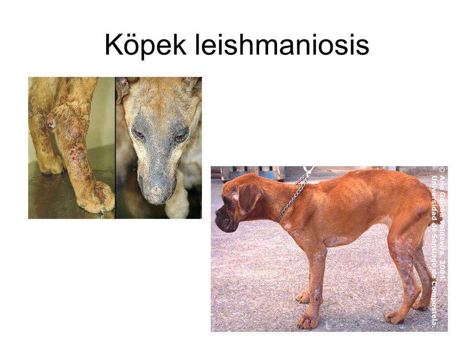 Köpek leishmaniosis