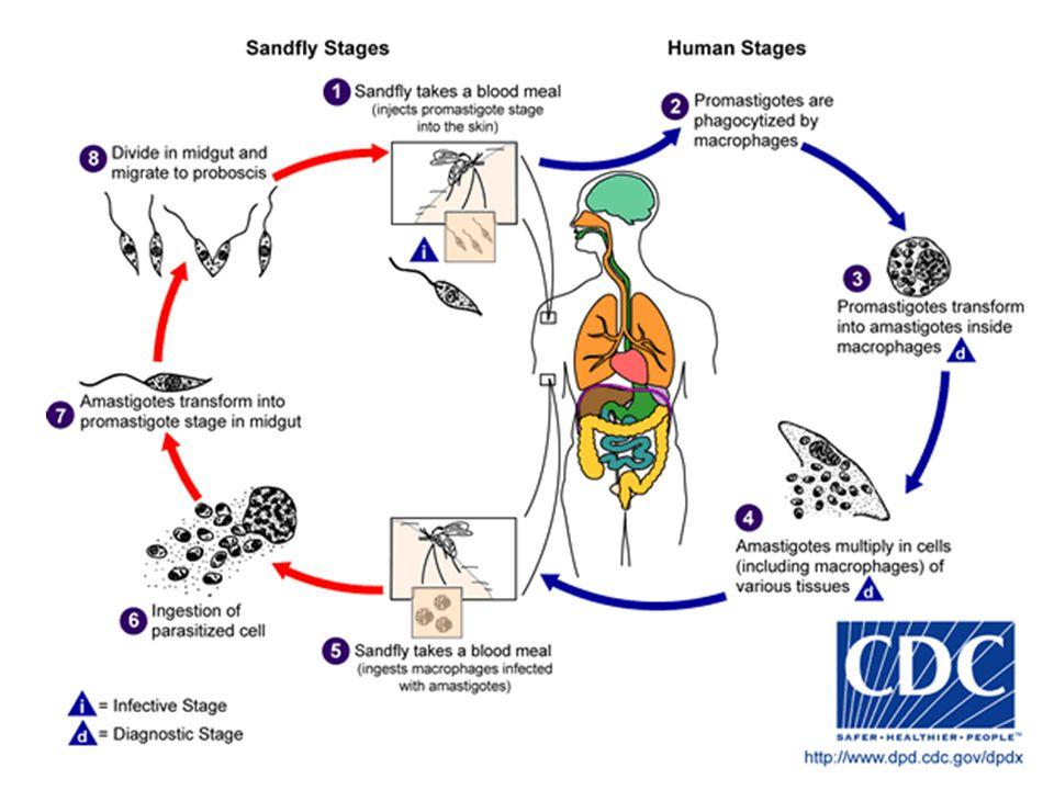 leishmaniasis Leishmania türlerinin coğrafik, klinik, epidemiyolojik, biyokimyasal, antijenik vb.
