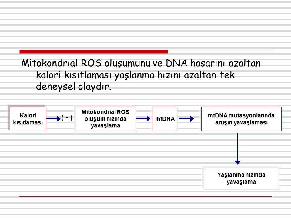 Mitokondrial ROS oluşumunu ve DNA hasarını azaltan kalori kısıtlaması yaşlanma hızını azaltan tek deneysel olaydır. Kalori kısıtlaması ( - ) Mitokondr