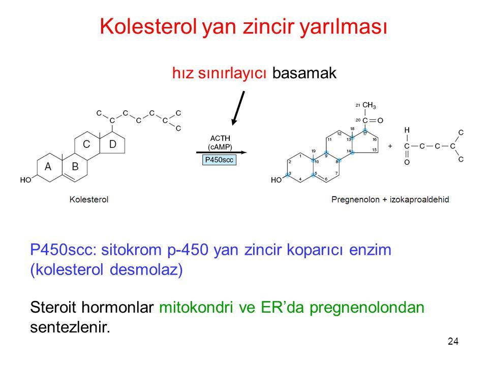 Kolesterol yan zincir yarılması P450scc: sitokrom p-450 yan zincir koparıcı enzim (kolesterol desmolaz) hız sınırlayıcı basamak Steroit hormonlar mito