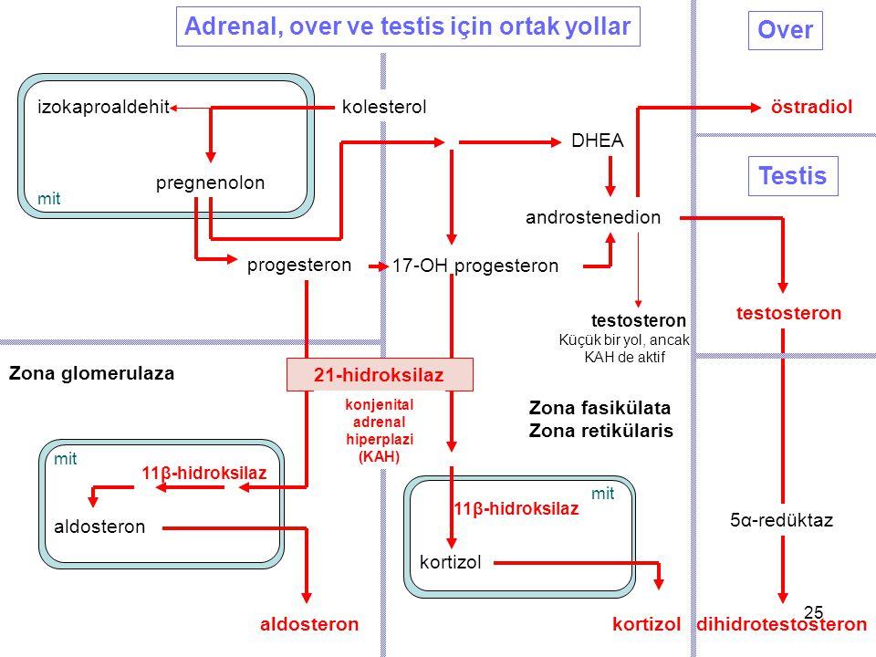 pregnenolon progesteron DHEA androstenedion testosteron Testis Over östradiol dihidrotestosteron testosteron Zona glomerulaza Zona fasikülata Zona ret