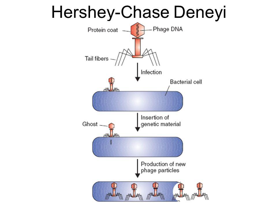 Hershey-Chase Deneyi