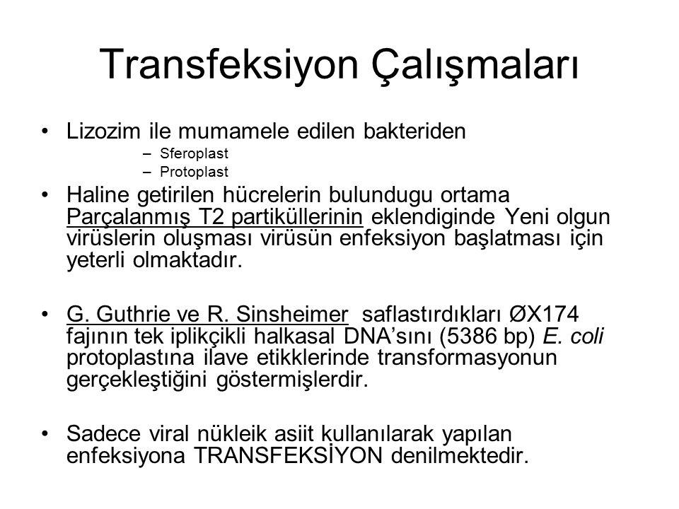 Transfeksiyon Çalışmaları Lizozim ile mumamele edilen bakteriden –Sferoplast –Protoplast Haline getirilen hücrelerin bulundugu ortama Parçalanmış T2 p