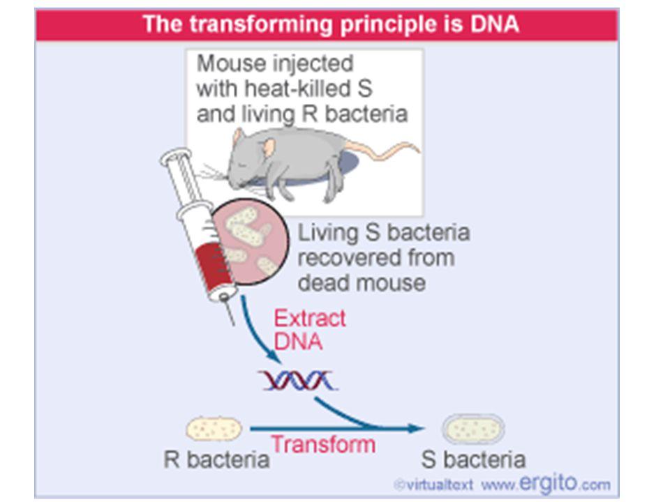 DNA'nın Ökaryotlarda Genetik materyal Dolaylı Destekler 1) Lokalizasyon (kompartmant) dolayısıyla Kromozomların çekirdekte bulunması 2) Kromozomların genetik madde içerdiginin bilimesi ve Diploit ve Haploit hücrelerde bulunan kromozom sayılarının birbirinin 2 katı olması 3) Hapolid yada Diploit hüçrelerde Kromozom miktarı degişirken, Protein miktarları aynı kalmakta Bak Tablo 11.2) Aksiyom Spektrumu (sayfa 229) Doğrudan Destekler 1) Rekombinant DNA teknolojisi ve Trasgenik ( gen aktarımlı) hayvanlar –Alameler arasında gen aktarımı: İnsülün, Beta-globin vb