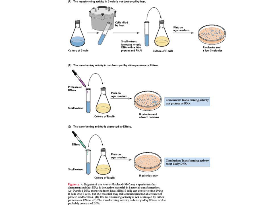 Avery, MacLeod ve McCarty Sunulan kanıtlar, deoksiriboz tpinde bir nükleik asitin, Pneumoccus Tip III'de transformasyon pernsibinin temel birimi olduğunu desteklemektedir .