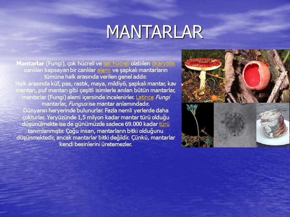 MANTARLAR MANTARLAR Mantarlar (Fungi), çok hücreli ve tek hücreli olabilen ökaryotik canlıları kapsayan bir canlılar alemi ve şapkalı mantarların tümü