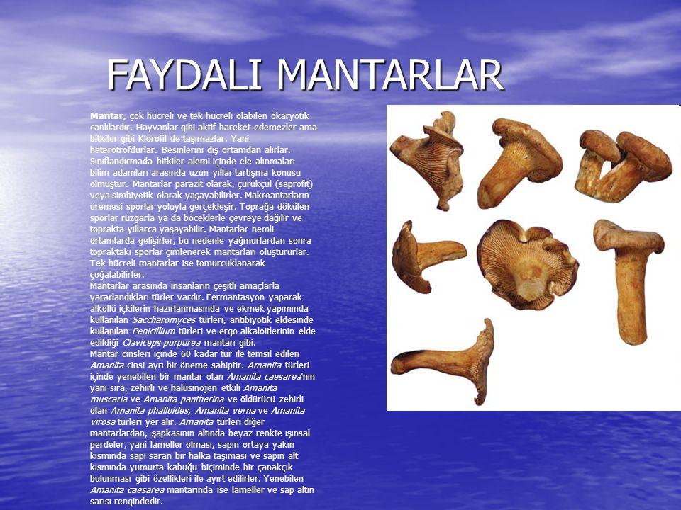 FAYDALI MANTARLAR FAYDALI MANTARLAR Mantar, çok hücreli ve tek hücreli olabilen ökaryotik canlılardır. Hayvanlar gibi aktif hareket edemezler ama bitk