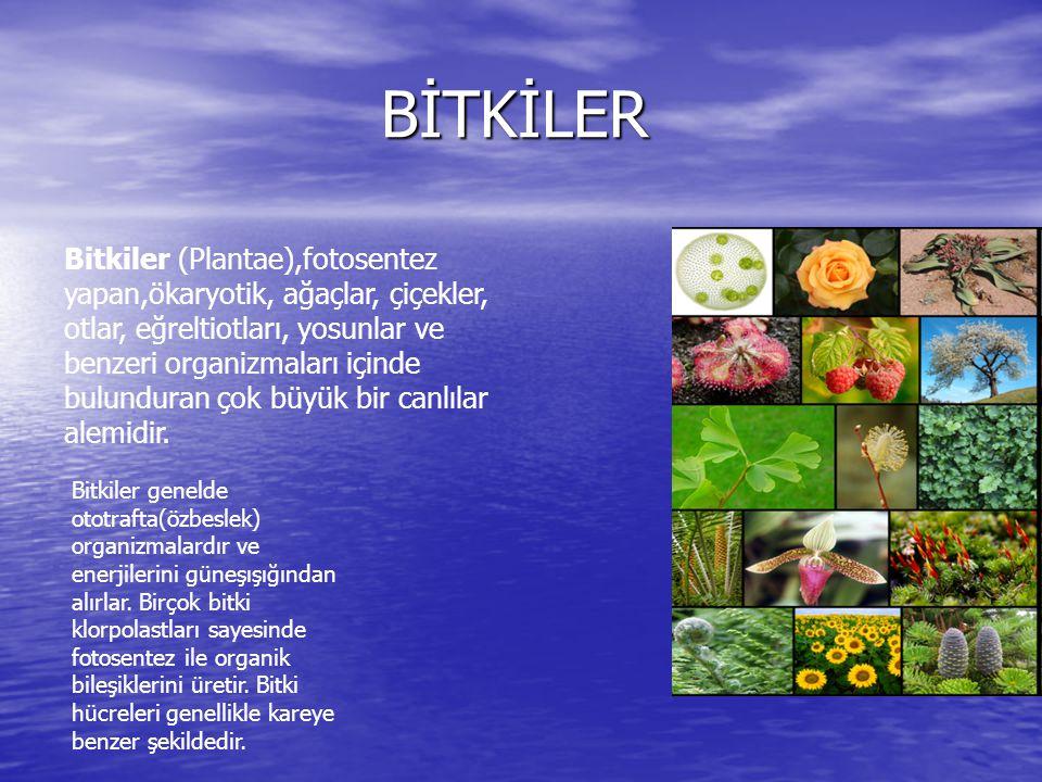 BİTKİLER BİTKİLER Bitkiler (Plantae),fotosentez yapan,ökaryotik, ağaçlar, çiçekler, otlar, eğreltiotları, yosunlar ve benzeri organizmaları içinde bul