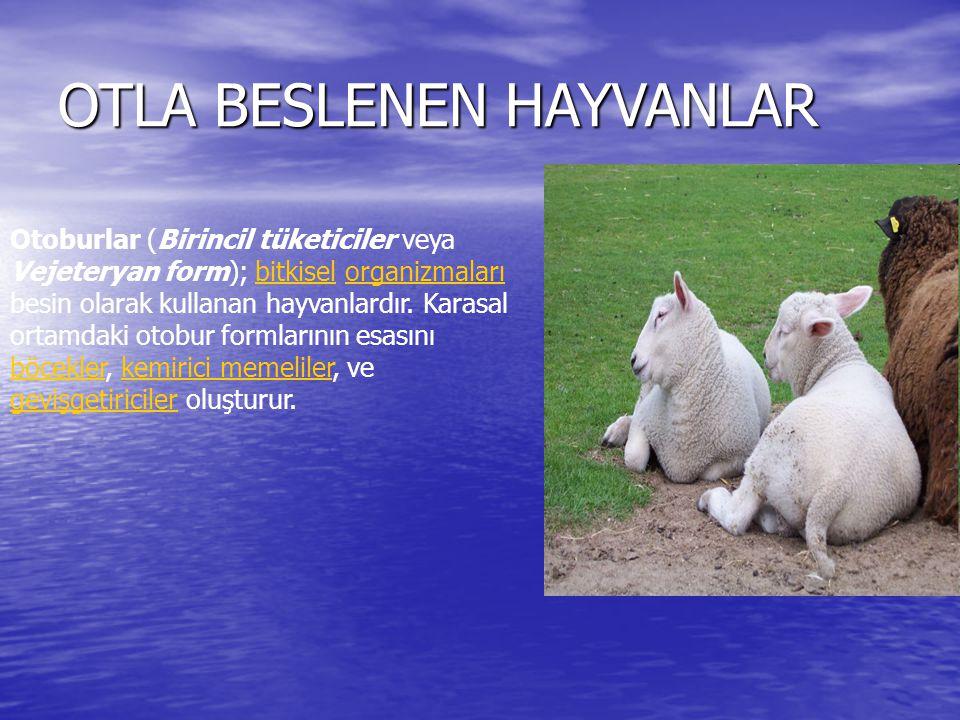 OTLA BESLENEN HAYVANLAR Otoburlar (Birincil tüketiciler veya Vejeteryan form); bitkisel organizmaları besin olarak kullanan hayvanlardır. Karasal orta