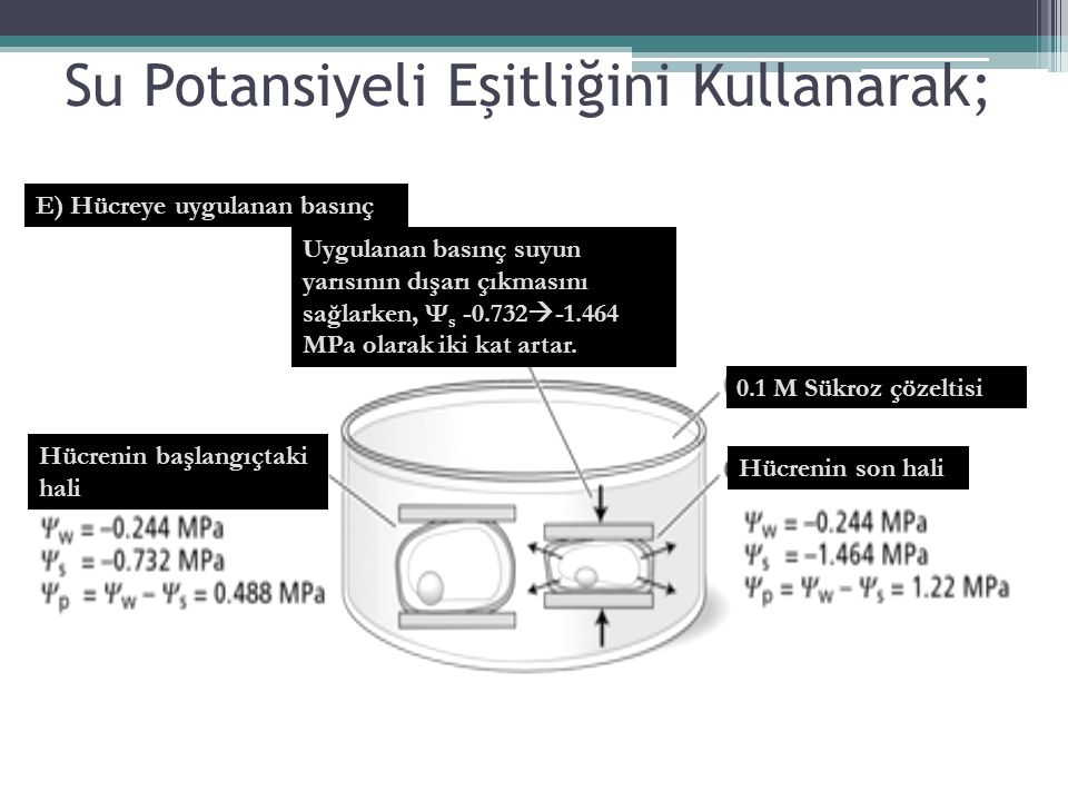 Su Potansiyeli Eşitliğini Kullanarak; E) Hücreye uygulanan basınç Uygulanan basınç suyun yarısının dışarı çıkmasını sağlarken, Ψ s -0.732  -1.464 MPa
