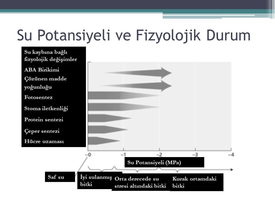 Su Potansiyeli ve Fizyolojik Durum Su kaybına bağlı fizyolojik değişimler ABA Birikimi Çözünen madde yoğunluğu Fotosentez Stoma iletkenliği Protein se