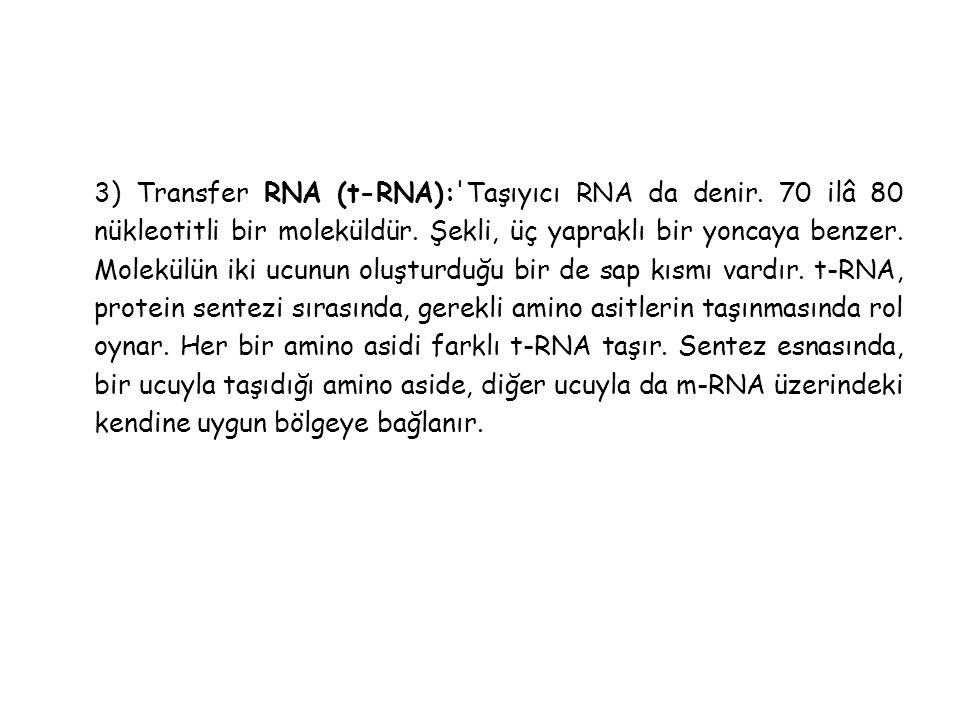 3) Transfer RNA (t-RNA): Taşıyıcı RNA da denir.70 ilâ 80 nükleotitli bir moleküldür.