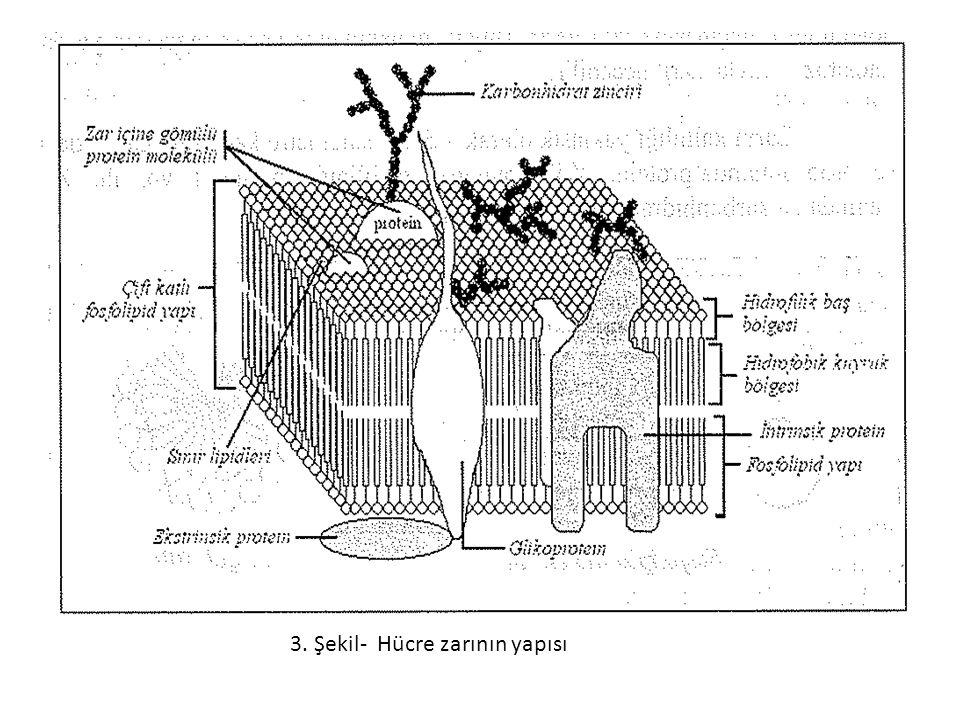 3. Şekil- Hücre zarının yapısı