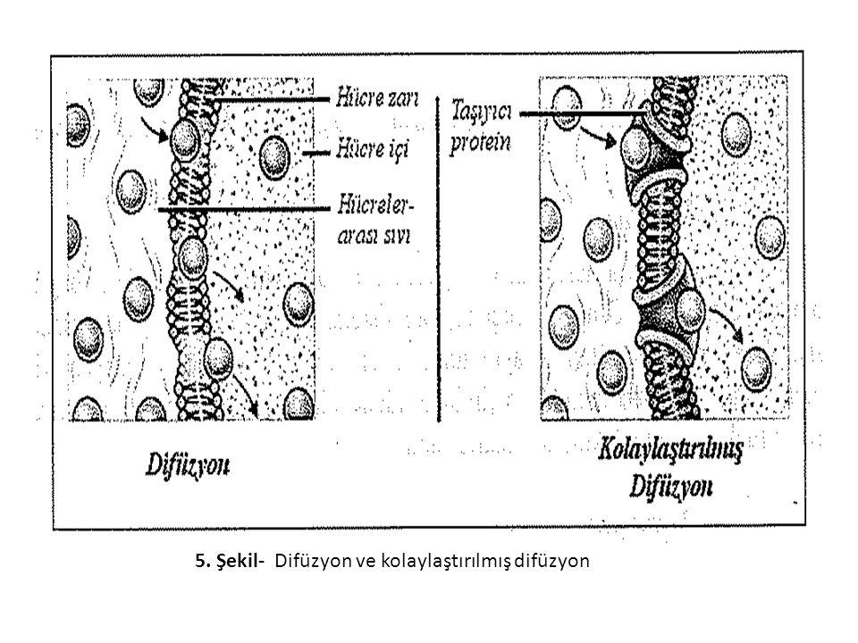 5. Şekil- Difüzyon ve kolaylaştırılmış difüzyon