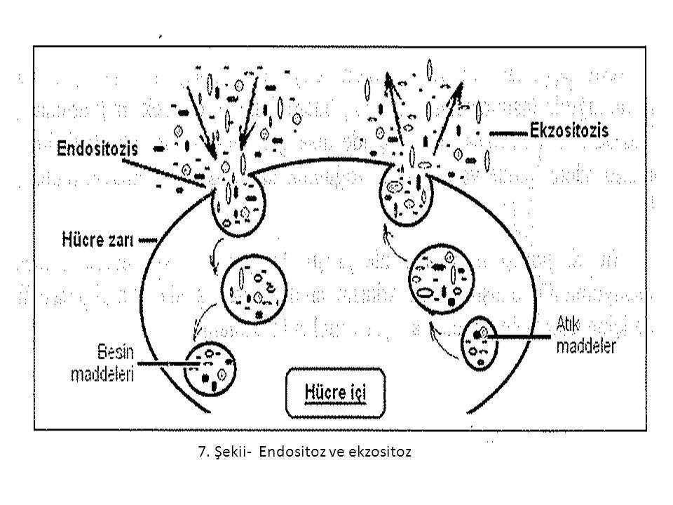 7. Şekii- Endositoz ve ekzositoz