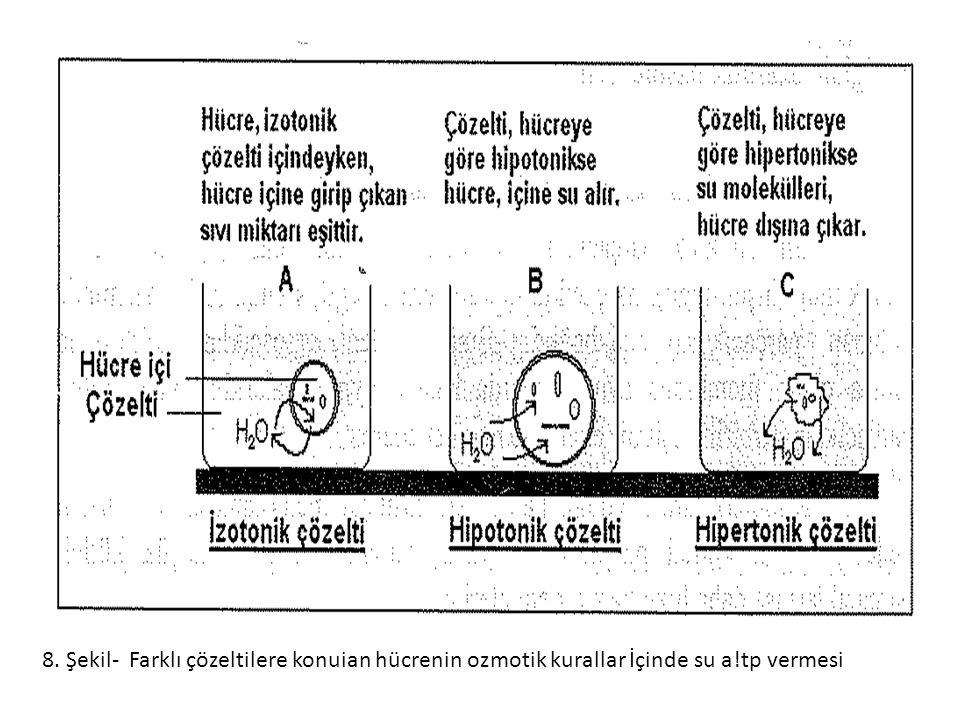 8. Şekil- Farklı çözeltilere konuian hücrenin ozmotik kurallar İçinde su a!tp vermesi