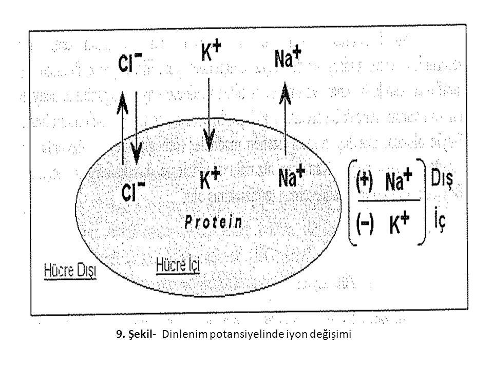 9. Şekil- Dinlenim potansiyelinde iyon değişimi