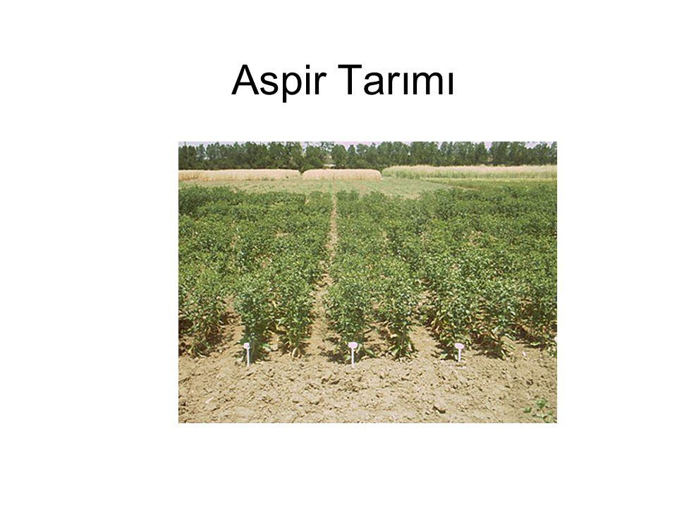 Aspir, genellikle 80-100 cm arasında boylanabilen, dikenli ve dikensiz formları olan, dikenli formların dikensizlere göre daha fazla yağ içerdiği, sarı, beyaz, krem, kırmızı ve turuncu gibi değişik renklerde çiçeklere sahip, tohumları, beyaz, kahverengi ve üzerinde koyu çizgiler bulunan beyaz taneler şeklinde olan, dallanan ve her dalın ucunda içerisinde tohumları bulunan küçük tablalar oluşturan, renkli çiçekleri (petal) gıda ve kumaş boyasında kullanılan, yaklaşık 2.5-3.0 m derinlere gidebilen bir kazık kök sistemine sahip, tohumlarında % 30-45 arasında yağ bulunan, yağı yemeklik olarak çok kaliteli olan, biodizel olarak kullanılan, küspesi hayvan yemi olarak kullanılabilen, kuraklığa dayanıklı, orabanşın zarar veremediği, yazlık karakterde ve ortalama 110-140 gün arasında yetişebilen tek yıllık bir uzun gün yağ bitkisidir.