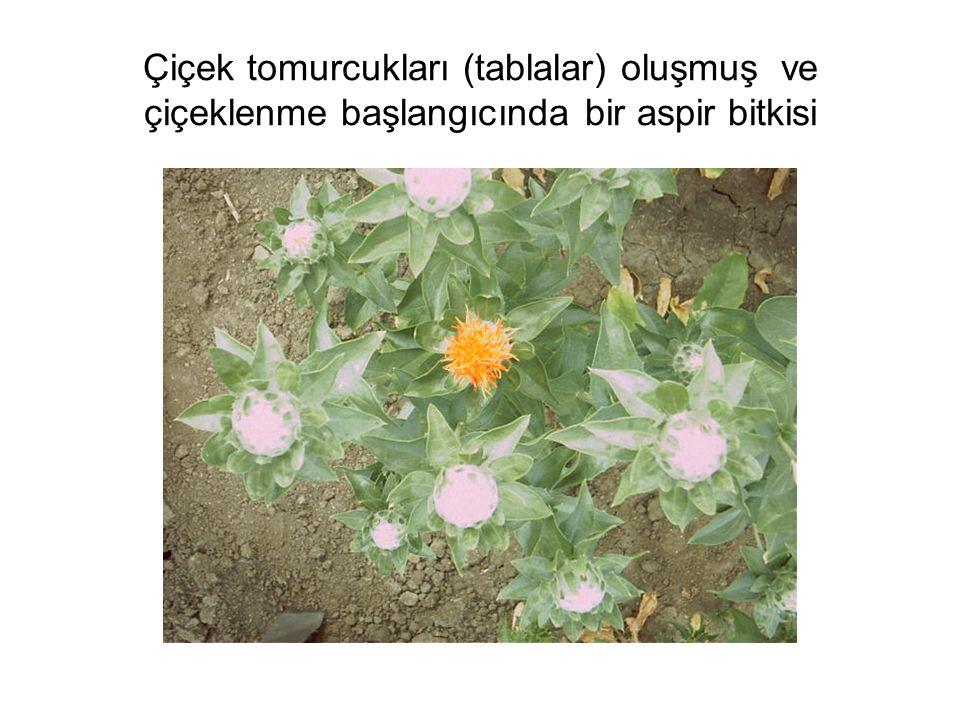 Çiçek tomurcukları (tablalar) oluşmuş ve çiçeklenme başlangıcında bir aspir bitkisi