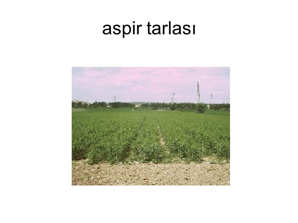 aspir tarlası