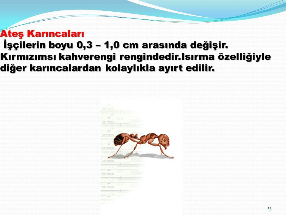 Ateş Karıncaları İşçilerin boyu 0,3 – 1,0 cm arasında değişir. Kırmızımsı kahverengi rengindedir.Isırma özelliğiyle diğer karıncalardan kolaylıkla ayı