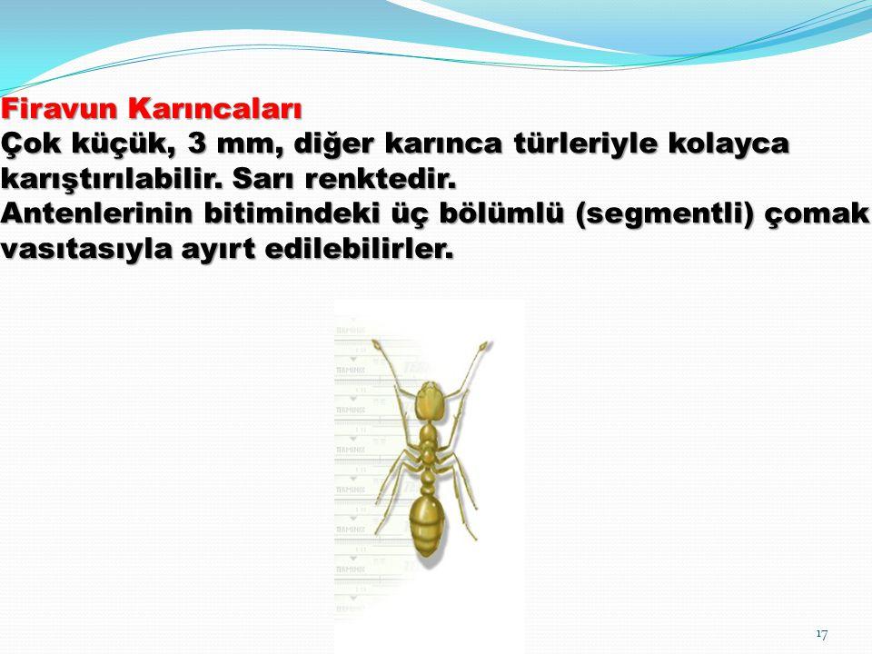 Firavun Karıncaları Çok küçük, 3 mm, diğer karınca türleriyle kolayca karıştırılabilir. Sarı renktedir. Antenlerinin bitimindeki üç bölümlü (segmentli