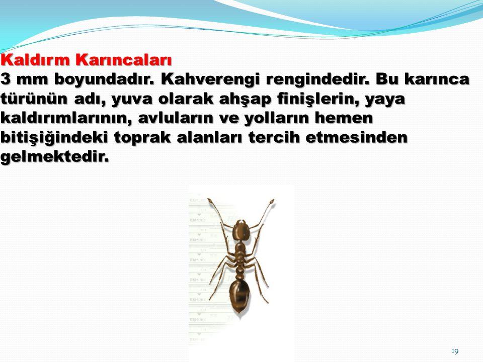 Kaldırm Karıncaları 3 mm boyundadır. Kahverengi rengindedir. Bu karınca türünün adı, yuva olarak ahşap finişlerin, yaya kaldırımlarının, avluların ve