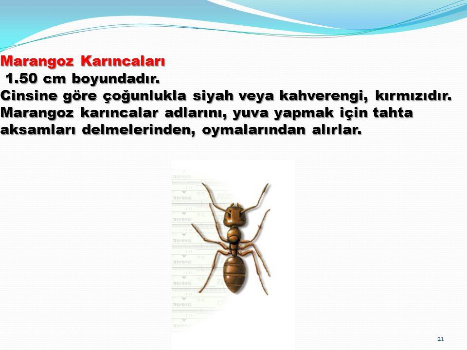 Marangoz Karıncaları 1.50 cm boyundadır. Cinsine göre çoğunlukla siyah veya kahverengi, kırmızıdır. Marangoz karıncalar adlarını, yuva yapmak için tah