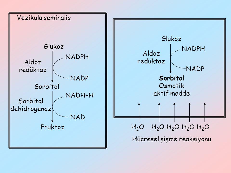 NADP Glukoz Sorbitol Aldoz redüktaz NADPH Vezikula seminalis Fruktoz Sorbitol dehidrogenaz NADH+H NAD NADP Glukoz Sorbitol Osmotik aktif madde Aldoz r