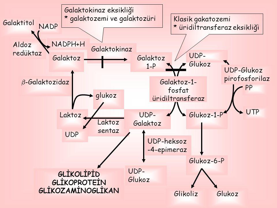 Laktoz sentaz Galaktokinaz NADPH+H Aldoz redüktaz Galaktitol NADP  -Galaktozidaz Galaktoz 1-P Galaktoz UDP- Glukoz UDP- Galaktoz Laktoz glukoz Glukoz