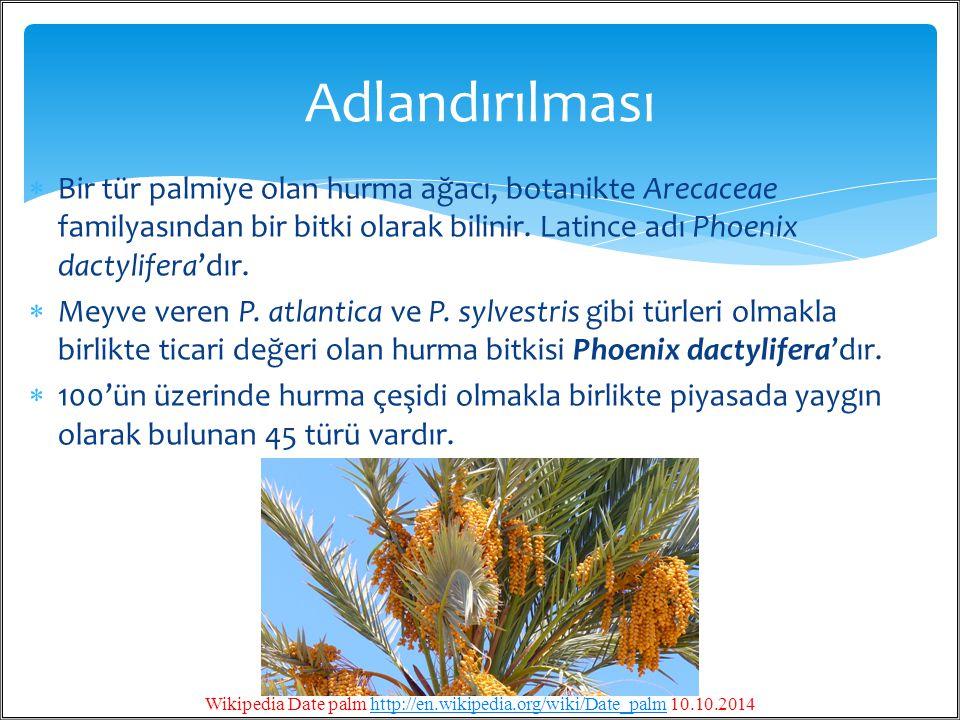  Bir tür palmiye olan hurma ağacı, botanikte Arecaceae familyasından bir bitki olarak bilinir. Latince adı Phoenix dactylifera'dır.  Meyve veren P.