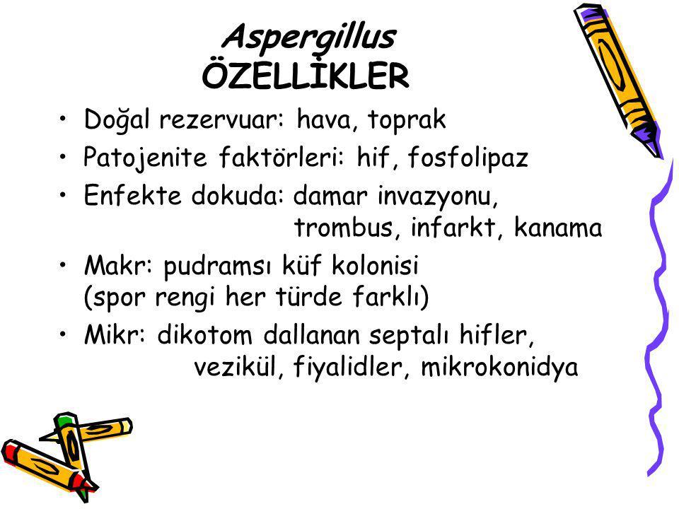 Aspergillus ÖZELLİKLER Doğal rezervuar: hava, toprak Patojenite faktörleri: hif, fosfolipaz Enfekte dokuda: damar invazyonu, trombus, infarkt, kanama
