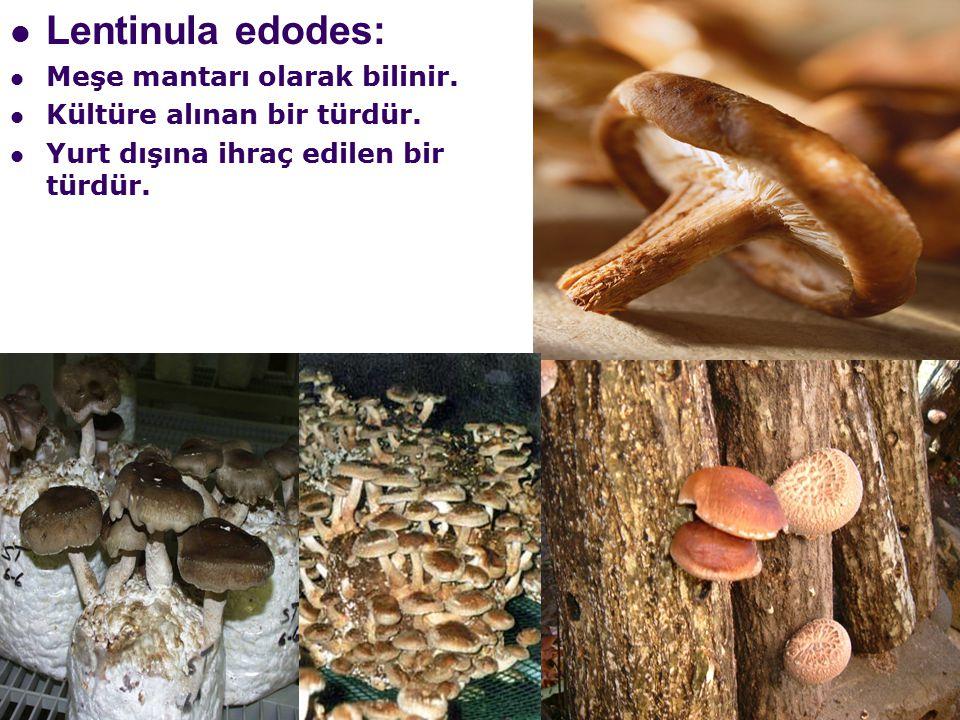 Lentinula edodes: Meşe mantarı olarak bilinir.Kültüre alınan bir türdür.