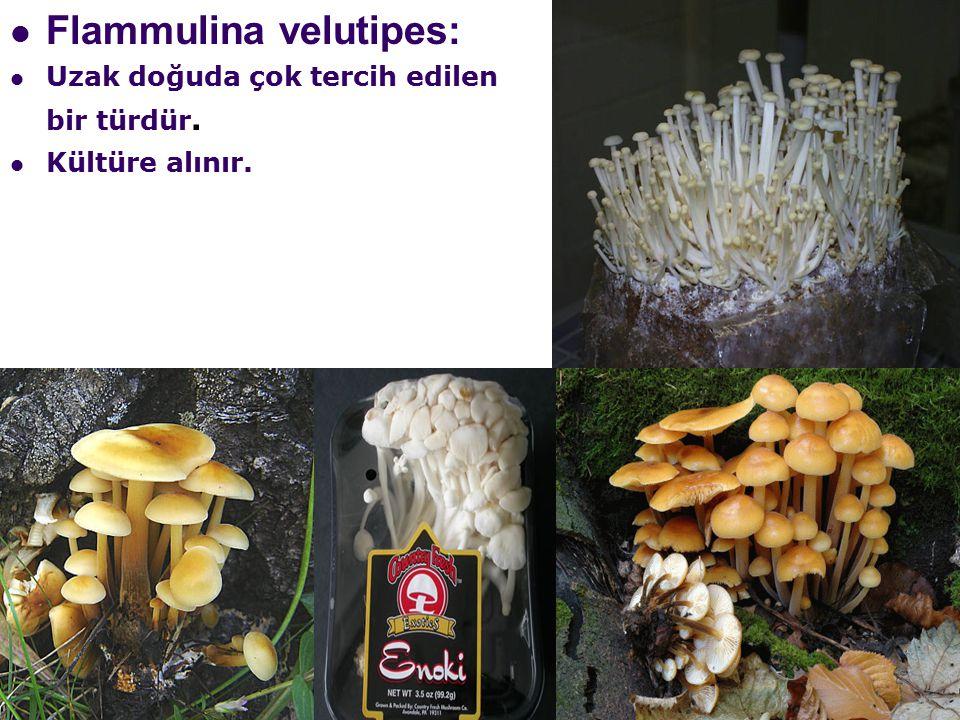 Flammulina velutipes: Uzak doğuda çok tercih edilen bir türdür. Kültüre alınır.