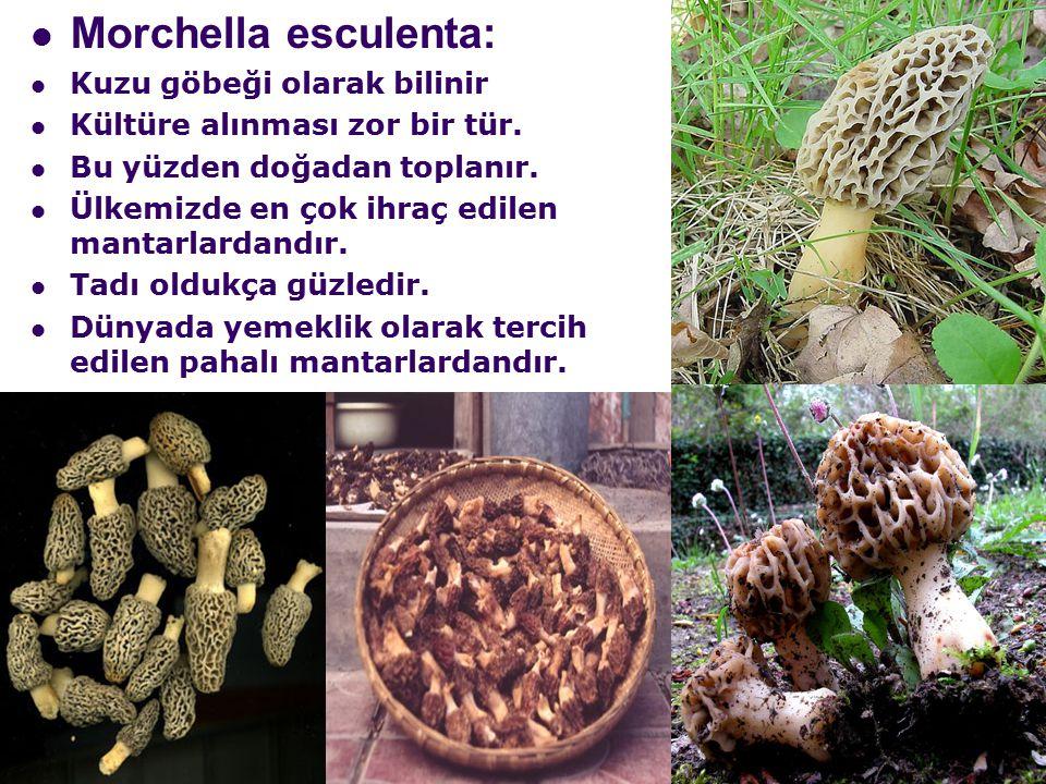 Morchella esculenta: Kuzu göbeği olarak bilinir Kültüre alınması zor bir tür.