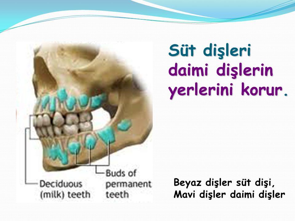 Süt dişleri daimi dişlerin yerlerini korur. Beyaz dişler süt dişi, Mavi dişler daimi dişler