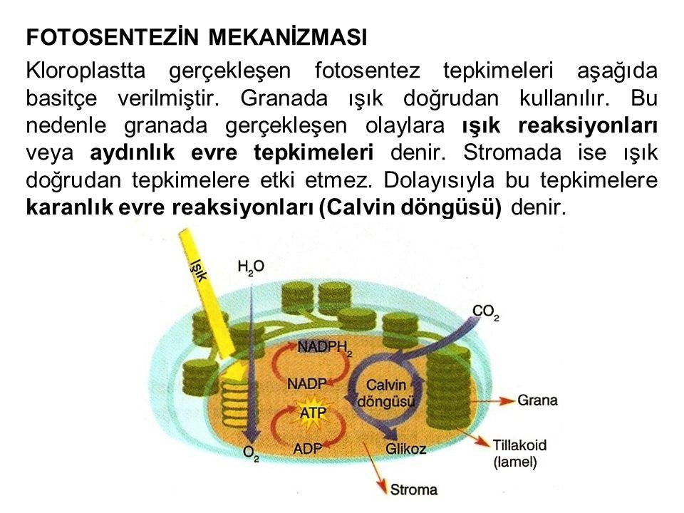 FOTOSENTEZİN MEKANİZMASI Kloroplastta gerçekleşen fotosentez tepkimeleri aşağıda basitçe verilmiştir. Granada ışık doğrudan kullanılır. Bu nedenle gra