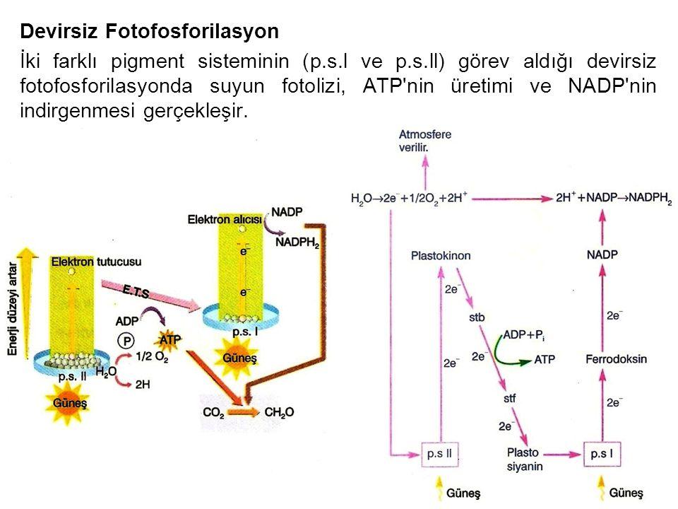 Devirsiz Fotofosforilasyon İki farklı pigment sisteminin (p.s.l ve p.s.ll) görev aldığı devirsiz fotofosforilasyonda suyun fotolizi, ATP'nin üretimi v