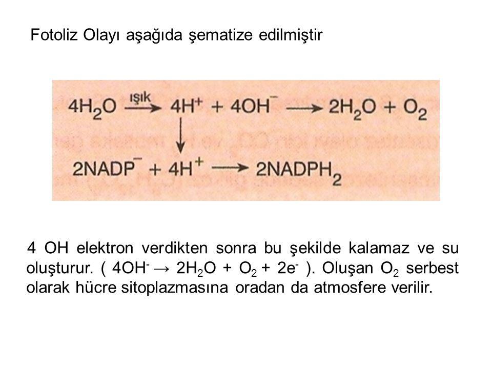 Fotoliz Olayı aşağıda şematize edilmiştir 4 OH elektron verdikten sonra bu şekilde kalamaz ve su oluşturur. ( 4OH - → 2H 2 O + O 2 + 2e - ). Oluşan O
