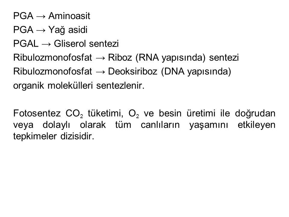 PGA → Aminoasit PGA → Yağ asidi PGAL → Gliserol sentezi Ribulozmonofosfat → Riboz (RNA yapısında) sentezi Ribulozmonofosfat → Deoksiriboz (DNA yapısın